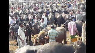 162| Indian Largest Buffalo bazar in Bangladesh- The Biggest Buffalo Market 2018
