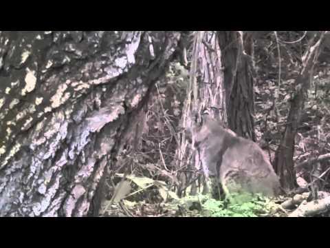 Bobcat in Almaden Valley!