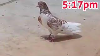 Dubai 6 Pigeons Landing After 4:40pm 44°Temperature|High Flying Pigeons