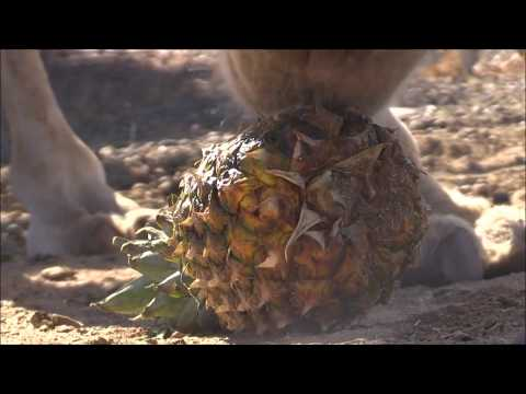 Camel vs Pineapple!!! جمل