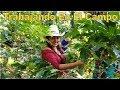 Bonito Trabajar En El Campo - Cortando Café Parte 4