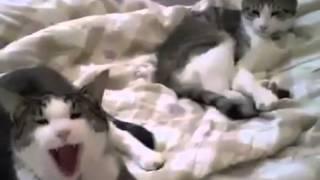 Кошки зевают!!прикол!