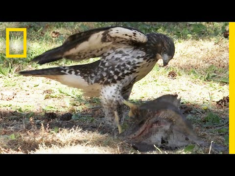 Hawk Raised by Eagles Is Starting to Act Like One | National Geographic