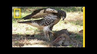 Hawk Raised by Eagles Is Starting to Act Like One | National Geographic thumbnail