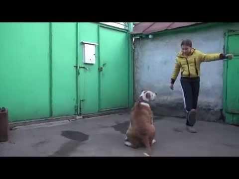 АМЕРИКАНСКИЙ БУЛЬДОГ - YouTube