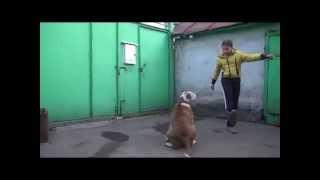 Трюки с собакой. Американский бульдог Яра 1 часть