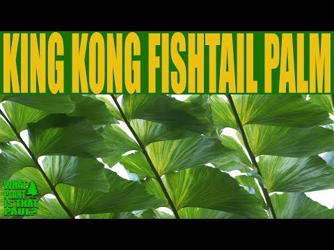 KING KONG FISHTAIL PALM - Caryota Gigas