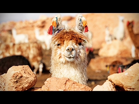 Funny Llamas 🐦 Llamas Spitting On People [Funny Pets]