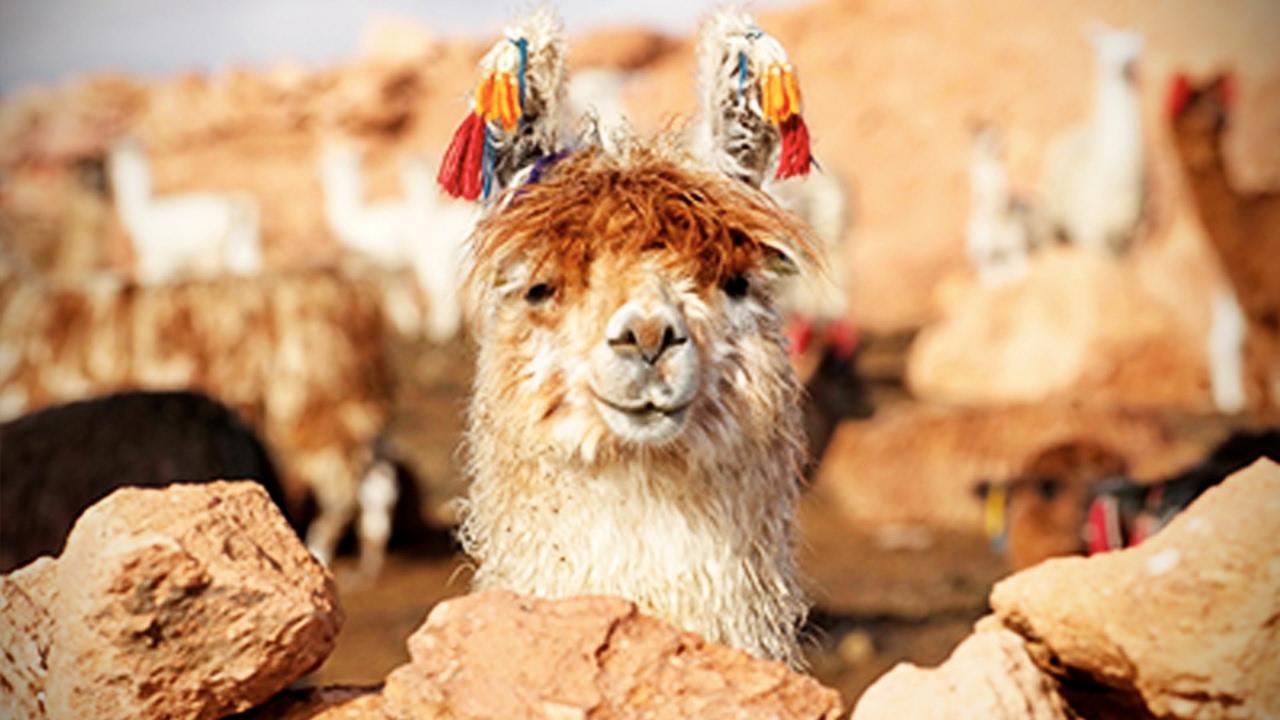 Download Funny Llamas 🐦 Llamas Spitting on People [Funny Pets]