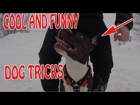 Amstaff : Advanced Dog Training ( Obedience, Sign language etc )