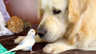 Golden Retriever who knows how to make Friends with Small Pets!