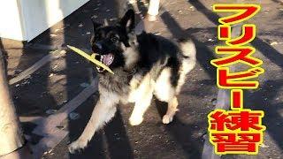 同じシェパード犬 秋田犬と暮らすKIKIさん フリスビーを上手にこなす動...