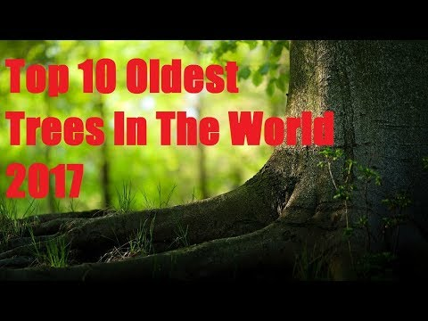 TOP 10 OLDEST Trees In The World | Top Old TREES |