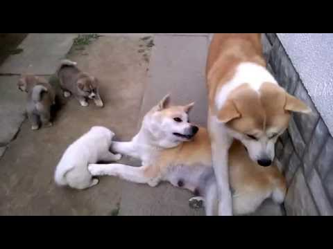 Akita Inu puppies playing with their parents