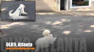 From Dog Reactive To Under Control! | Goldendoodle | Dog Training Atlanta