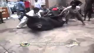 Cow Run After Qurbani on bakra Eid - 2013 - HD