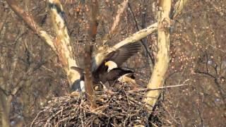 Eagle Landing at nest