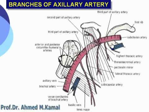 27 U Limb Branches of the Axillary artery د أحمد كمال cxt - YouTube