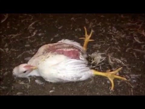 Genetically modified chickens (meat)
