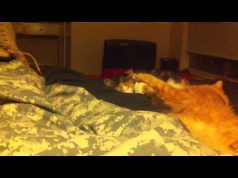 Ginger & Manx kitty
