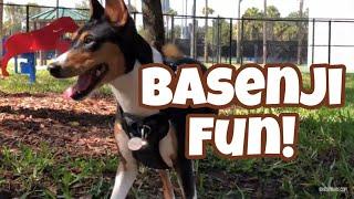 Basenji Fun!