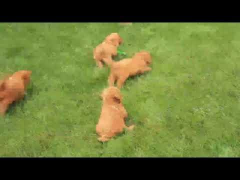 Miniature Goldendoodle Puppies For Sale Joseph Stoltzfus