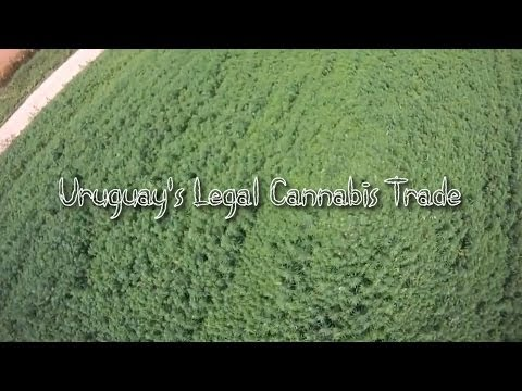 Uruguay's Legal Cannabis Trade (Documentary)