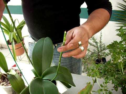Las varas florales de la Orquídea Phalaenopsis