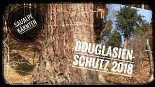 Forst / Douglasien , Schutz gegen Wildschaden / Saualpe Kärnten