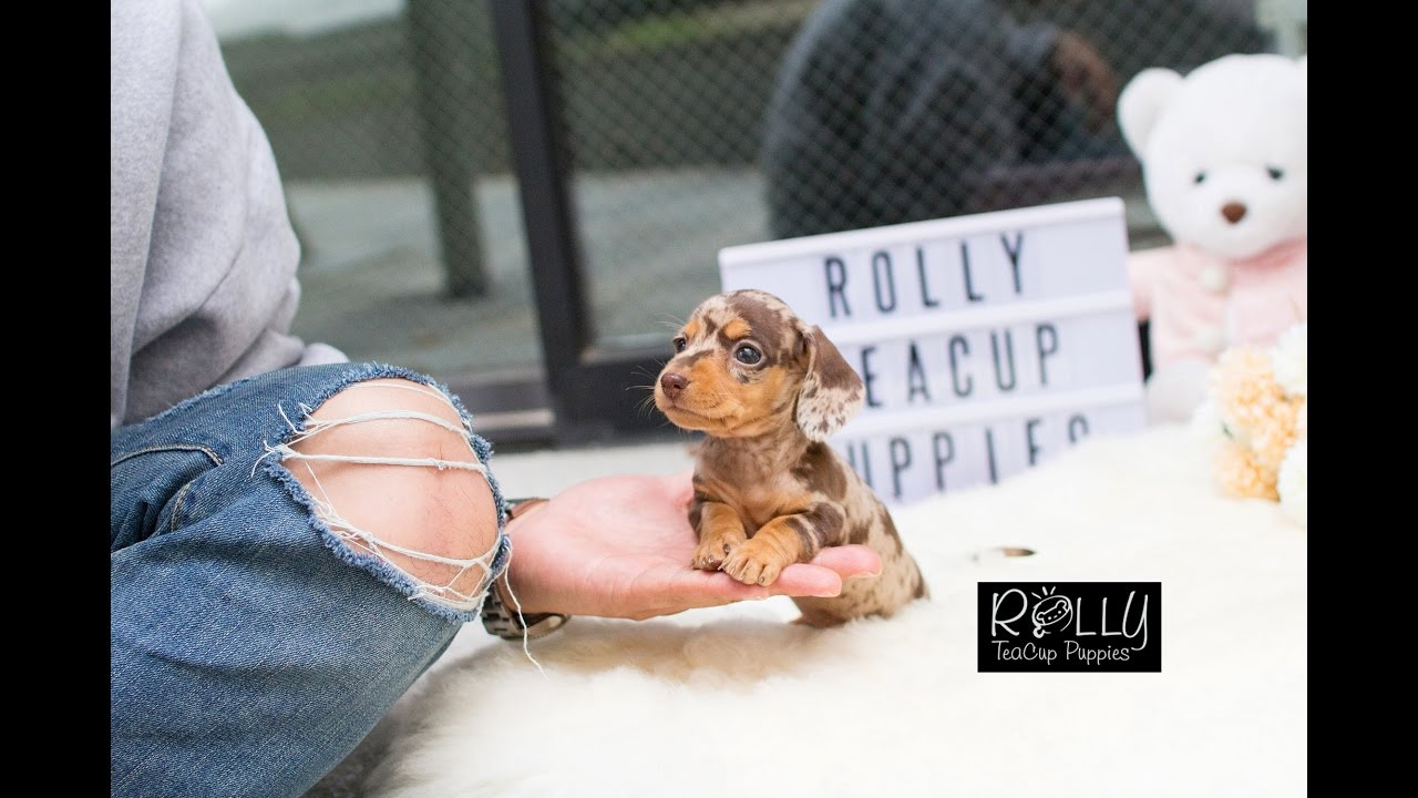 Rolly Teacup Puppies