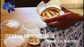 Wie züchte ich Microwürmer ? (#31)
