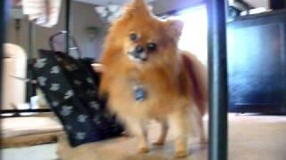 Pomeranian Maximus Waiting For Sophie