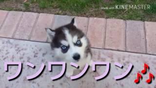 ハスキー犬は、大きなイメージで鋭い目付きで少し近寄りがたいでしたけ...
