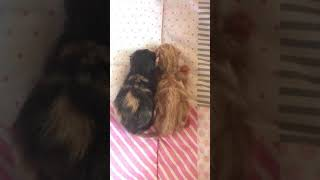 New born 2 #exoticshorthair kittens