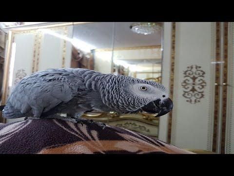 Говоряяий попугай матершинник как дела пойдём кушать орешки попугай ругается