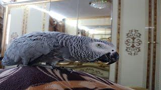 Попугай матершинник как дела пойдём кушать орешки попугай ругается