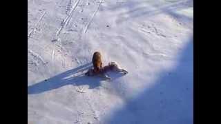 Лиса съела собаку!! Голодная зима
