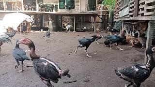 Gambar cover Peternakan Ayam bangkok bpk agus