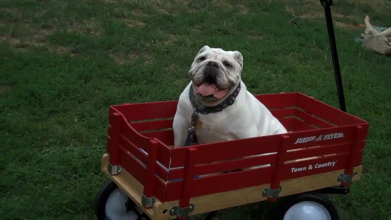 bulldog wagon ride doovi. Black Bedroom Furniture Sets. Home Design Ideas