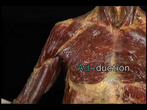 Movimientos de la articulación glenohumeral (hombro) - YouTube