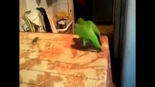 Сенегальский попугай шурик