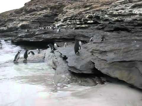Rockhopper penguins Saunders island