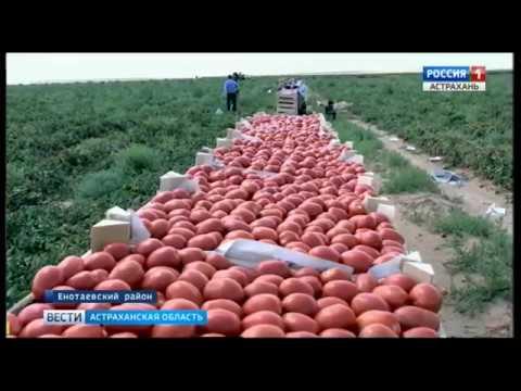 Фермеры Енотаевского района сегодня занимают прочные позиции на рынке сбыта