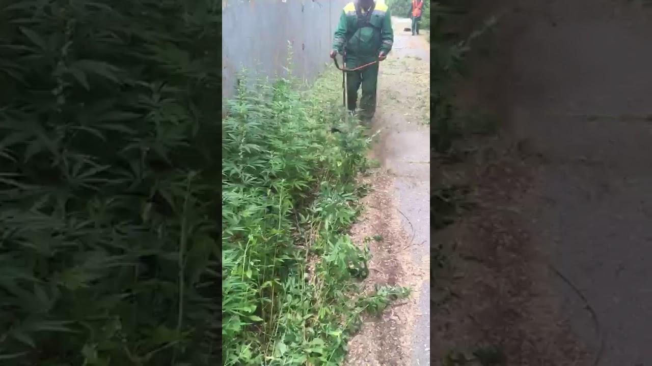 Камышин марихуана скачать картинки с марихуаной на телефон