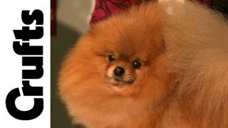 Crufts 2012 - Kennel Club Breeders' Competition
