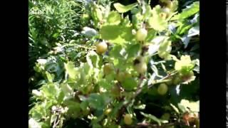 mączniak agrestu choroby krzewów