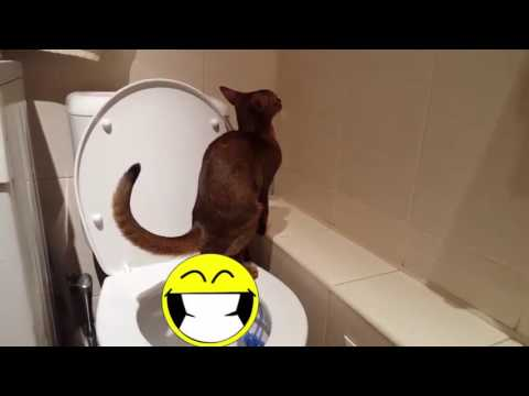 Abyssinian cat is doing poo poo in the toilet. Nighty smart cat.
