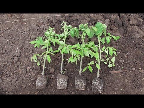 ПРОДОЛЖАЮ ВЫСАЖИВАТЬ ТОМАТЫ В ОТКРЫТЫЙ ГРУНТ. Ольга Чернова. | выращивание | огородная | чернова | томатов | высадка | ранняя | азбука | ольга