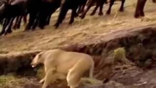 被害者が戻って戦ったとき - イノシシ、水牛、ライオンVSシマウマ、ワニ...