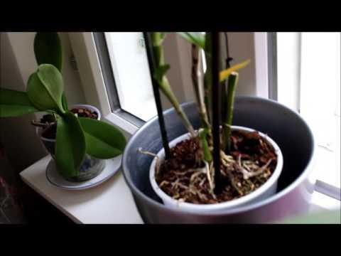 Уход за орхидеям Дендробиум Нобиле. Dendrobium. Мои ошибки.